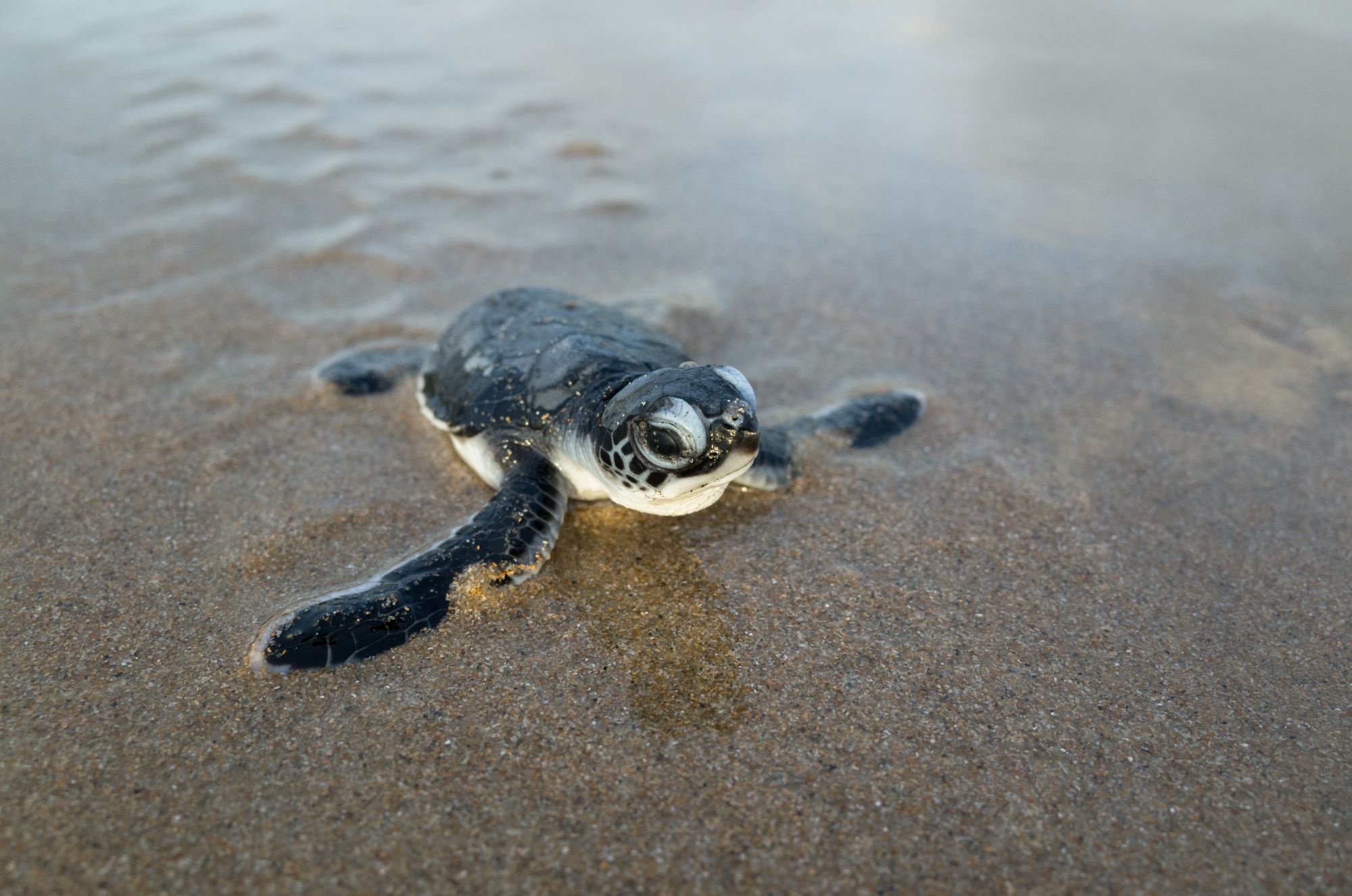 Green_turtle_hatchling_iStock-506443520 Web